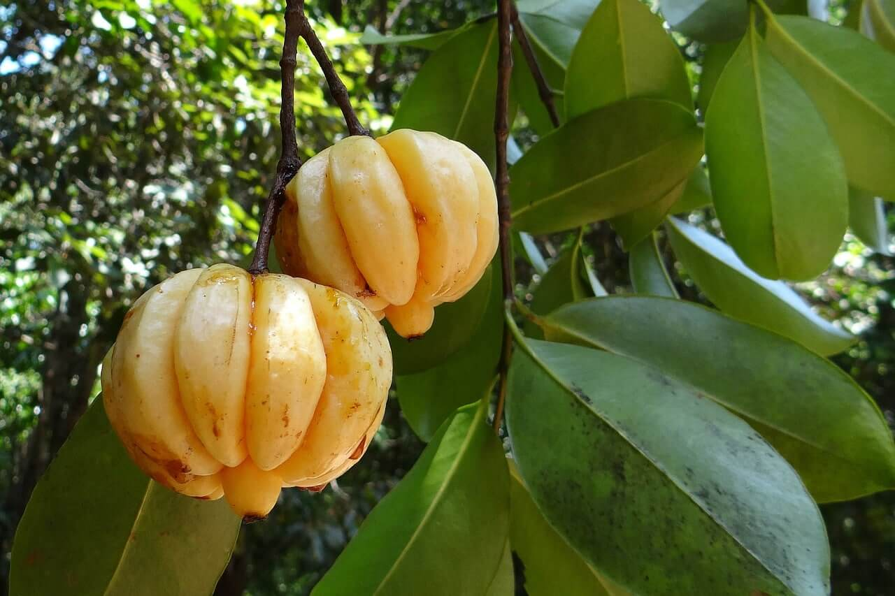 Garcinia Cambogia Effect, dosage and experience
